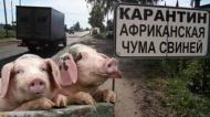 Африканская чума свиней: безопасность в виде предупреждения!