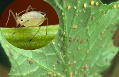 Лето - сезон массового размножения вредителей