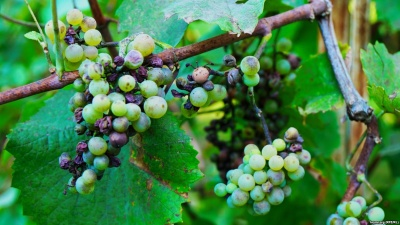Бактериальное увядание винограда