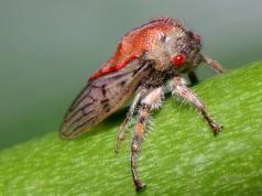 Рссельхознадзор предупреждает!!!! России угрожает опасный вредитель- многоядная муха-горбатка!