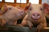 Информация о мерах по предупреждению африканской чумы свиней