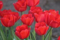 О требованиях к качеству луковичных и клубнелуковичных цветочных культур