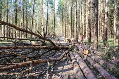 Валежник приравняли к недревесным лесным ресурсам