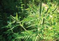 О мерах по уничтожению амброзии и другой карантинной растительности на территории Новомихайловского сельского поселения