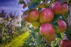 Как выбрать саженцы плодовых культур?