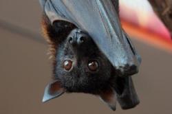 Опасность и польза летучих мышей