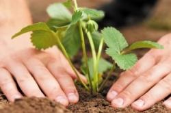 Требования к качеству рассады земляники