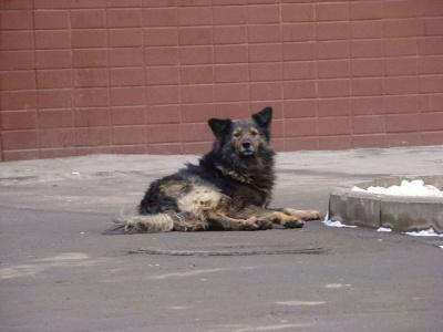 Внимание! Отлов безнадзорных собак!
