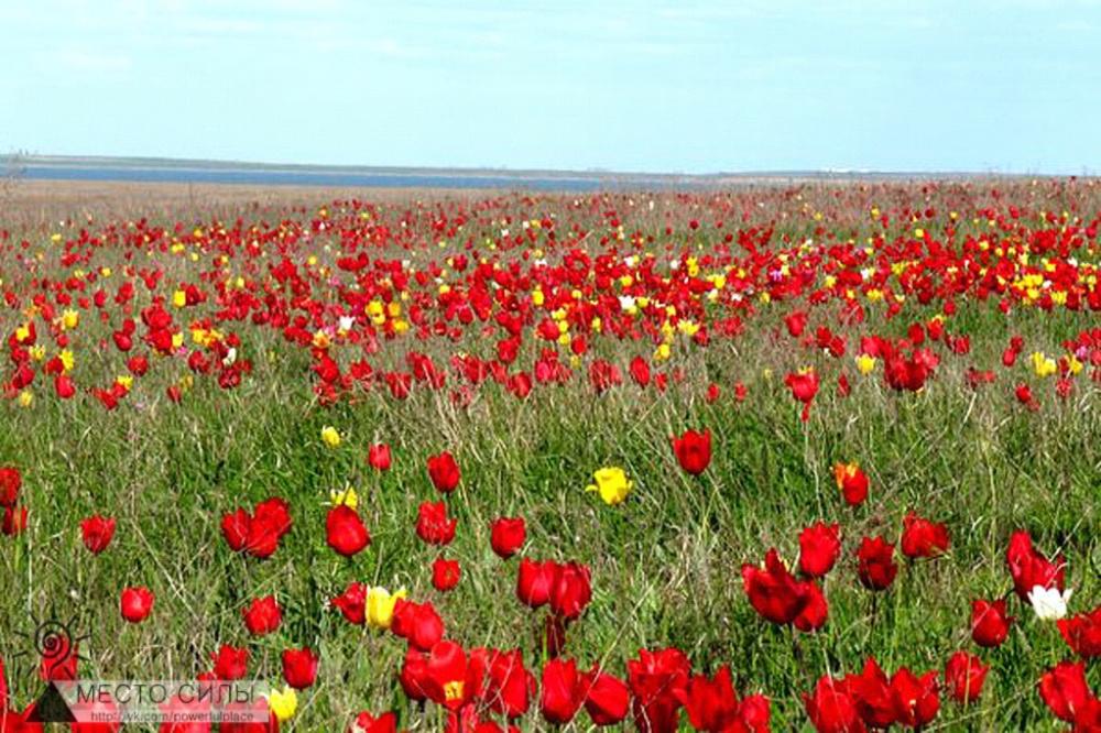 Сохраним тюльпанные поля