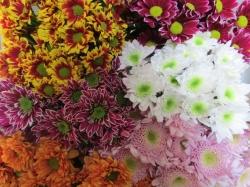 Посадка хризантемы осенью