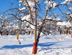 Как защитить зимой плодовый сад от грызунов