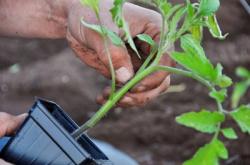 Как удобрить землю при высадке рассады томатов