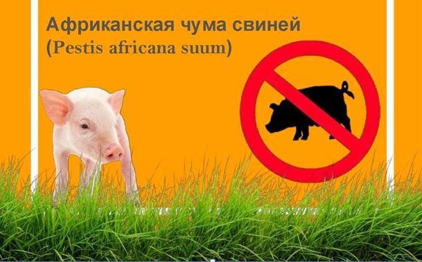 Памятка населению по африканской чуме свиней