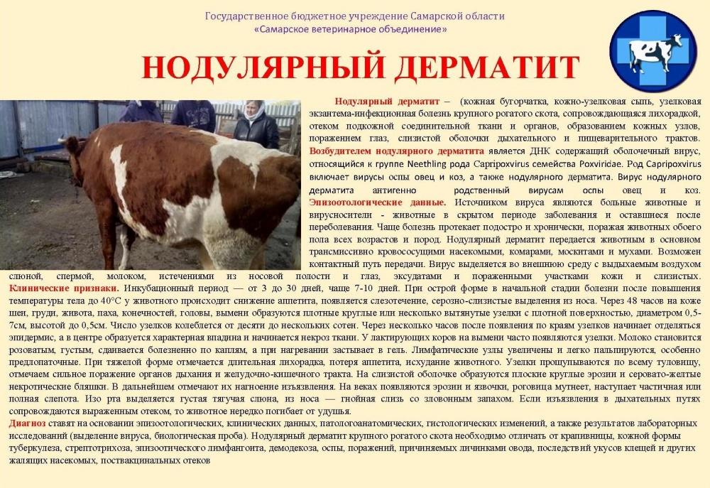 ГБУ Самарской области «Самарское ветеринарное объединение» информирует: Нодулярный дерматит