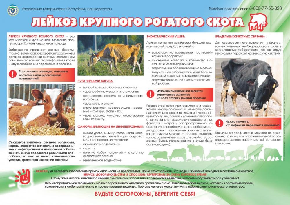 Лейкоз крупного рогатого скота