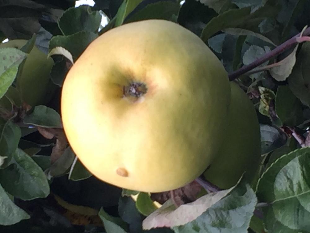 По яблоку в день — и доктор ненадобен