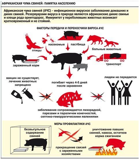 Африканская чума свиней – особо опасная, острозаразная, вирусная болезнь