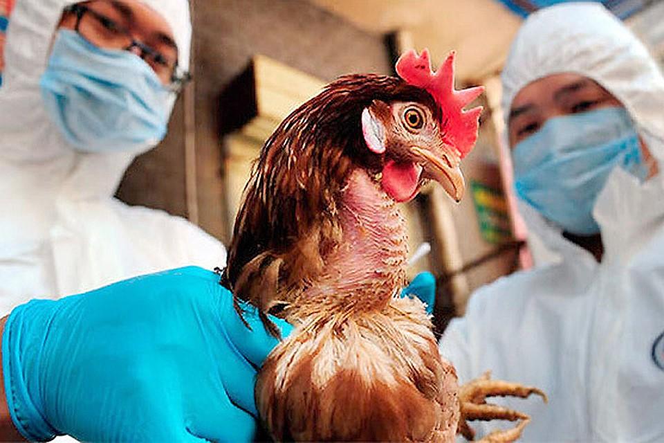 О профилактике высокопатогенного гриппа птиц