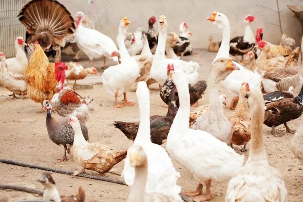 """ФГБУ """"ВНИИЗЖ"""" информирует о высокопатогенном гриппе птиц."""