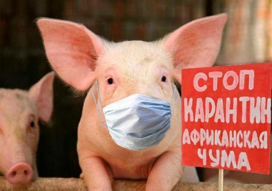 Африканская чума свиней - невидимый враг наступает.
