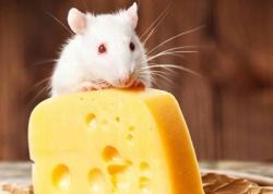 Кыш, мышь! Грызуны в доме