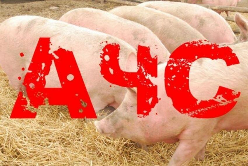 Африканская чума свиней!