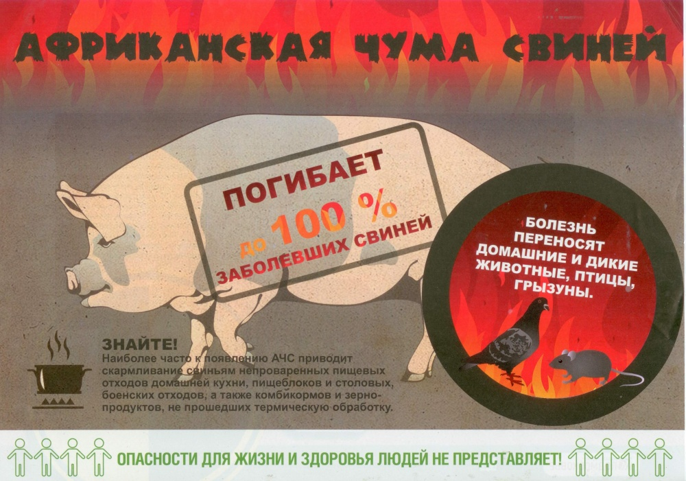 Важная информация! Африканская чума свиней