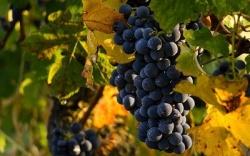 Готовим виноград к зимовке