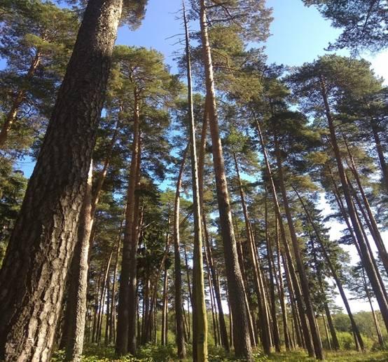 ЗАКЛЮЧЕНИЕ  по лесопатологическому и санитарному состоянию древесной растительности расположенной в поселке Никольское Никольского сельского поселения Костромского муниципального района Костромской области
