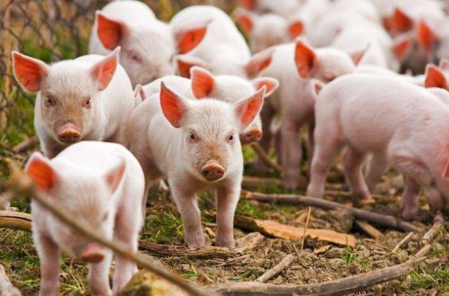 Обнаружены случаи вспышки африканской чумы свиней