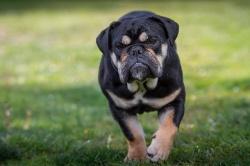 Правительство Российской Федерации утвердило перечень потенциально опасных собак
