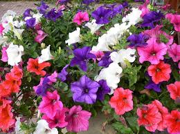 На городских клумбах высадили цветы