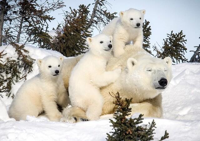 """Тематический час """"Международный день полярного медведя"""""""