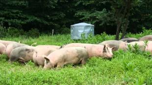 Нельзя кормить свиней не проваренными пищевыми отходами