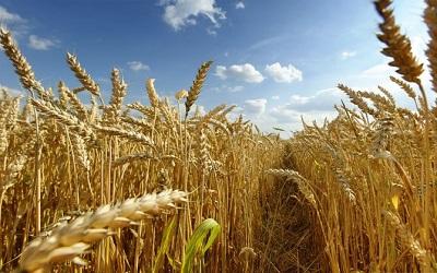 Пшеничный край: прогноз урожая в этом году
