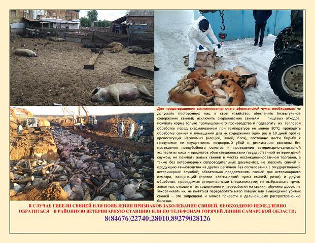 Памятка по профилактике Африканской чумы свиней